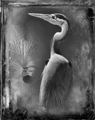 Great Blue Heron by Dianne Yudelson