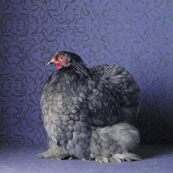 Blue Cochin Bantam Pullet by Tamara Staples