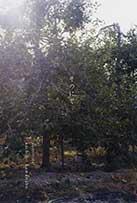 sachiko kawanabe sononite (At the orchard)