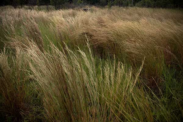 DavisOrtonGallery - angilee wilkerson_bobcat's high grass