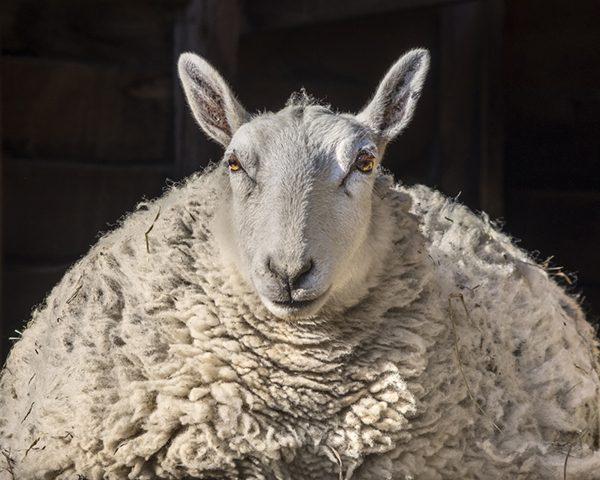 Clarice (Catskill Animal Sanctuary) by Janet Holmes