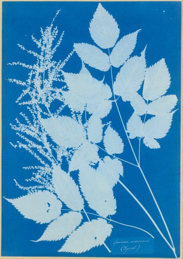 annaatkinsspiraea-aruncus-tyrol1851-54-1799-1871-copy