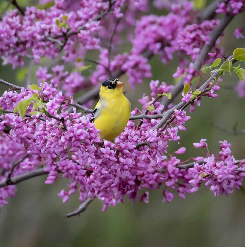 Goldfinch and Redbud by Sarah Sterling