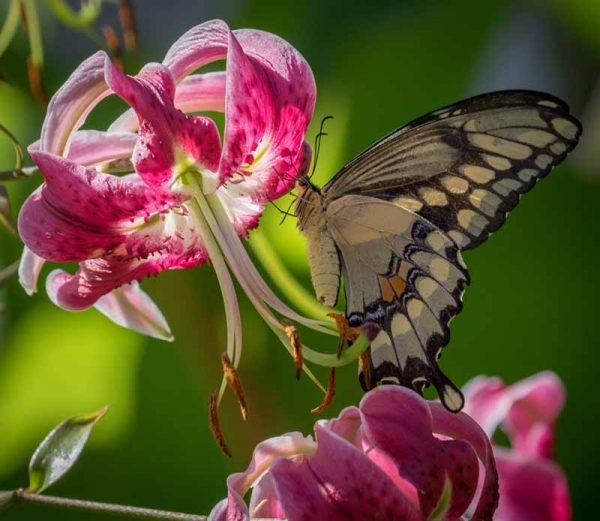 Swallowtail and Lily by Sarah Sterling