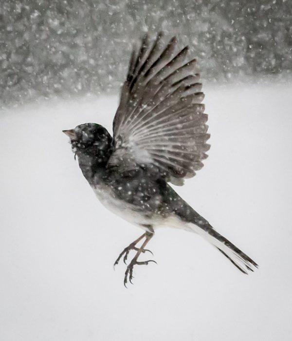 Junco Flying by Sarah Sterling