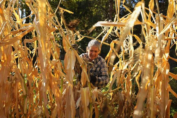 Fritz in Corn by Laurie Blakeslee