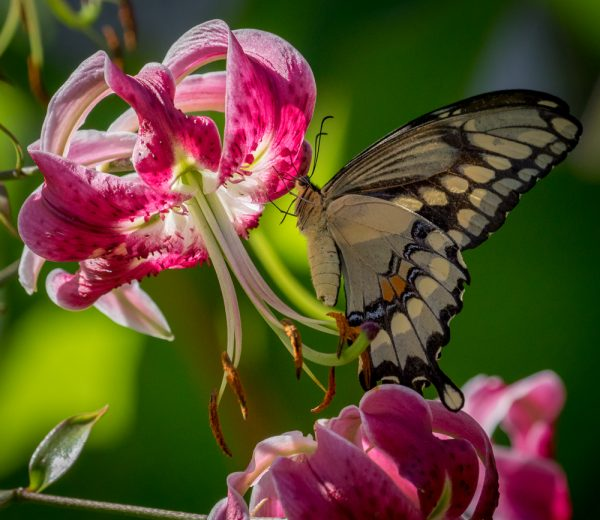 Lily and Giant Swallowtail 1 by Sarah Sterling
