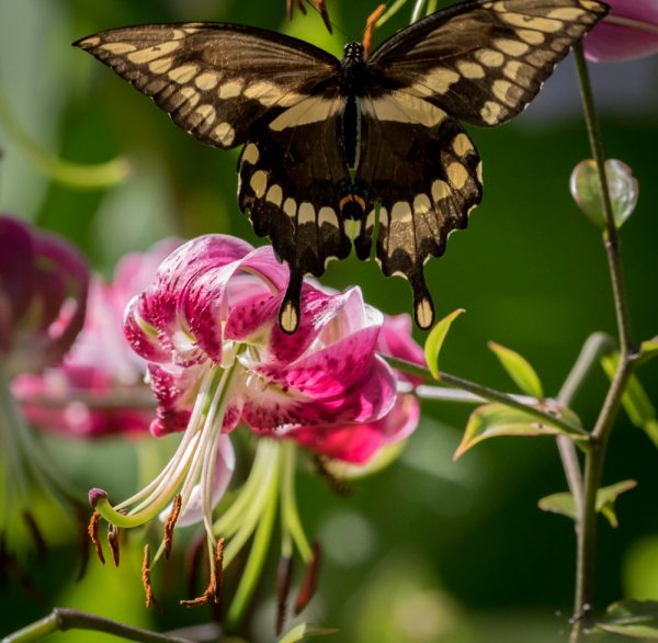 Lily and Giant Swallowtail 2 by Sarah Sterling