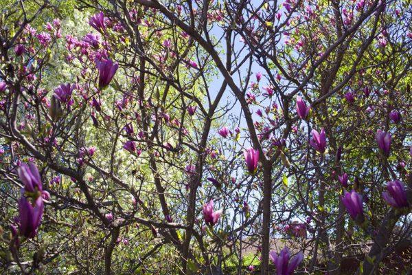 Magnolia by Laurie Blakeslee