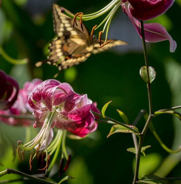 Lily and Giant Swallowtail 3 by Sarah Sterling