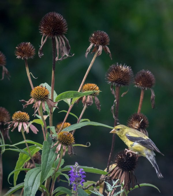 Goldfinch and Echinacea by Sarah Sterling