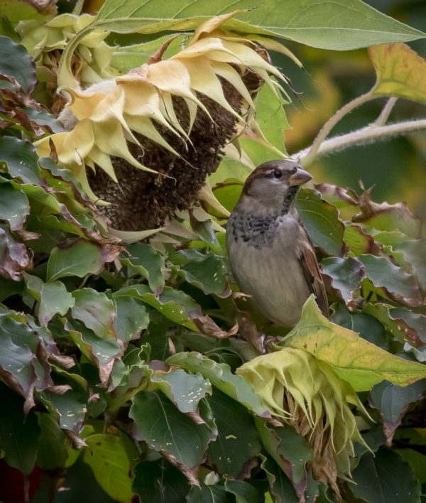 Sparrow and Sunflowers by Sarah Sterling