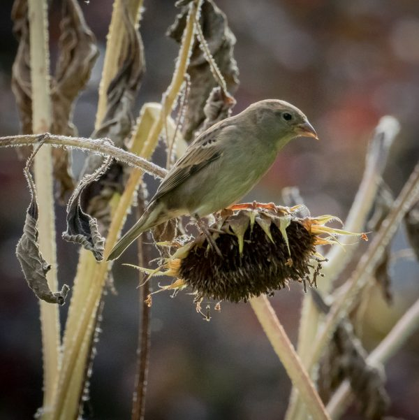 Female Goldfinch and Sunflower