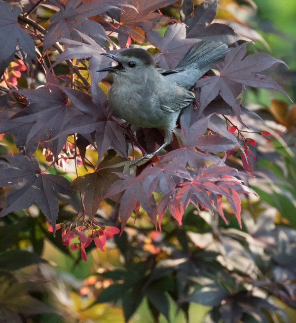 Catbird and Maple Tree by Sarah Sterling
