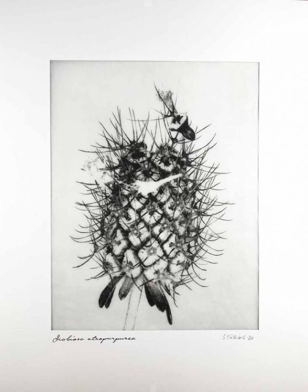 photo, Gerado Stubing, Scabiosa Atropurpurea