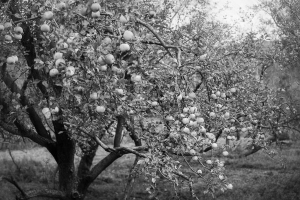 Apple Tree by Julia Arstorp