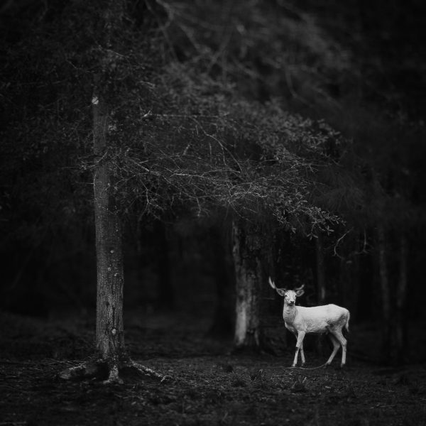 White Fallow Buck by Karey Walter